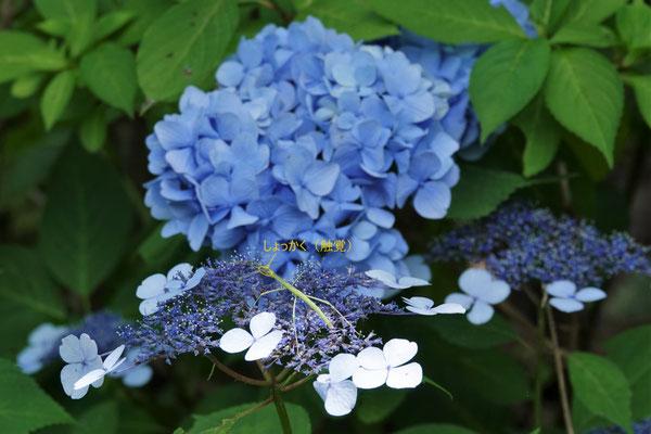 写真4.あじさいの花にとまるナナフシ