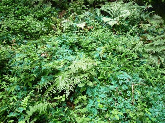 葉が青く見えるコンテリクラマゴケ