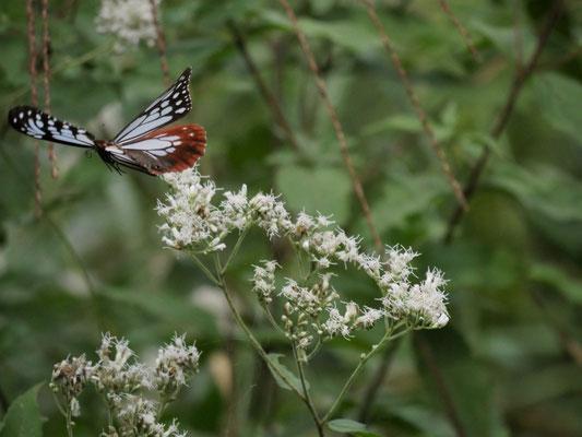 写真3.ヒヨドリバナの周りを飛ぶアサギマダラ(くろんど園地)