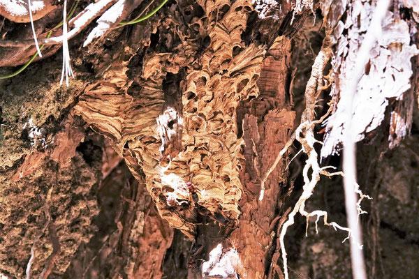 写真1 赤茶色のハチが出入りする大きな巣