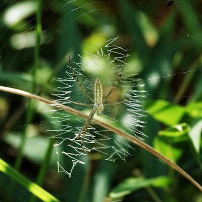 写真2.ナガコガネグモ(幼体)の隠れ帯
