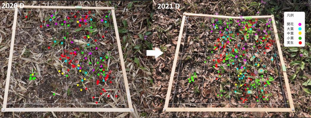 写真2(b).コドラートの定点観測地点Dの生育状況
