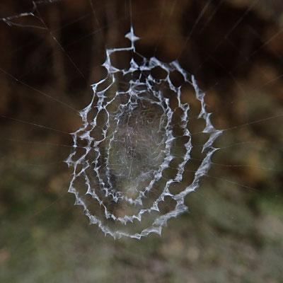 写真3.ウズグモの隠れ帯