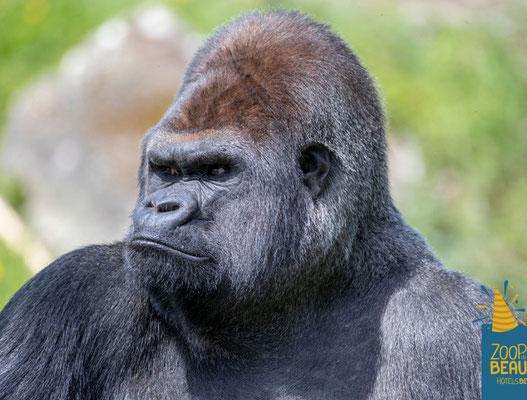 asato, zoo de beauval, severine saint-maurice, lescerclesdelumiere, gorille