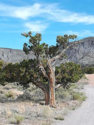 alte Wacholderbäume
