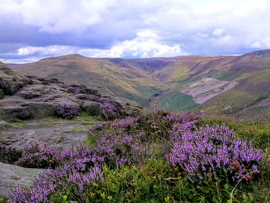 Heather seen on Kinder Scout guided walk