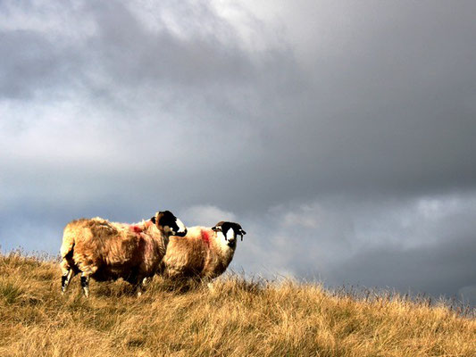 Sheep in the Yokrshire Dales