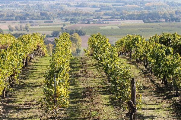 Vue du vignoble gaillacois sur la commune de Lisle-sur-Tarn / Au mas de Janita ©