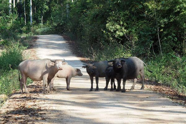Wasserbüffel laufen in Laos und Vietnam fast überall herum