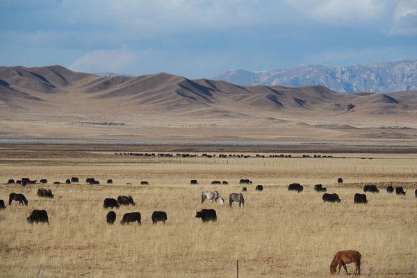 Pferde und Yaks auf ihren Weideflächen