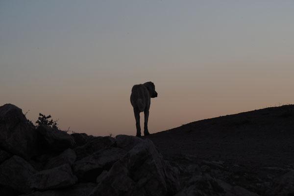 Hund vorm Sonnenuntergang