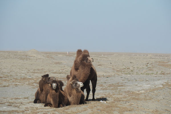 Crossing Xinjiang by bike on G315 - you will see camels
