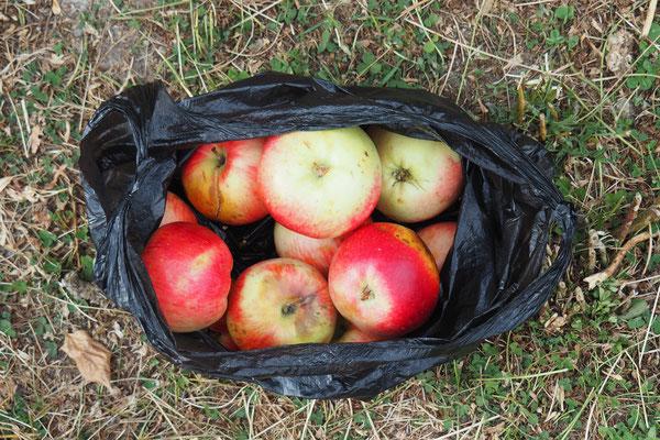 Erntezeit! Wir kriegen gaaanz viele Äpfel geschenkt.
