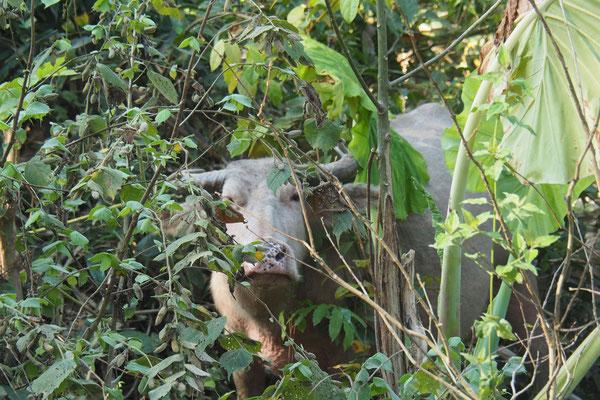 Wasserbüffel verstecken sich im Wald am Wegesrand