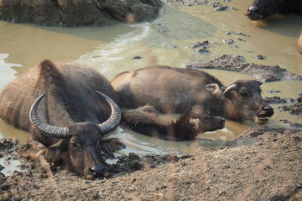 Einigen Wasserbüffeln scheint es ganz gut zu gehen