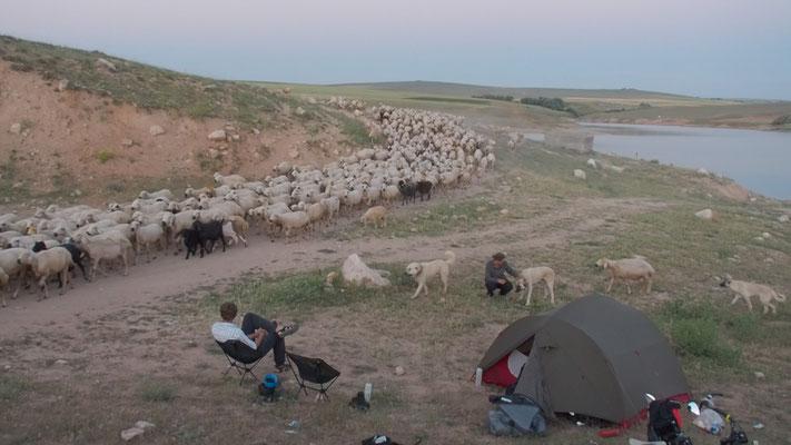 Schafsherde am Zeltplatz