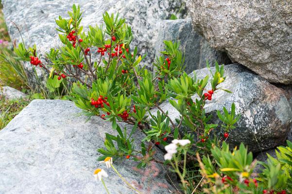 Früchte des Alpenseidelbastes