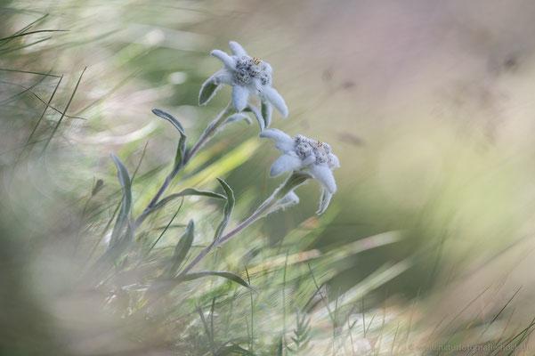 Edelweiss (Leontopodium alpina)