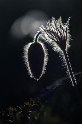 Frühlingsküchenschelle (Pulsatilla vernalis) im morgentlichen Gegenlicht