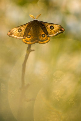 Kleines Nachtpfauenauge, Eudia pavonia