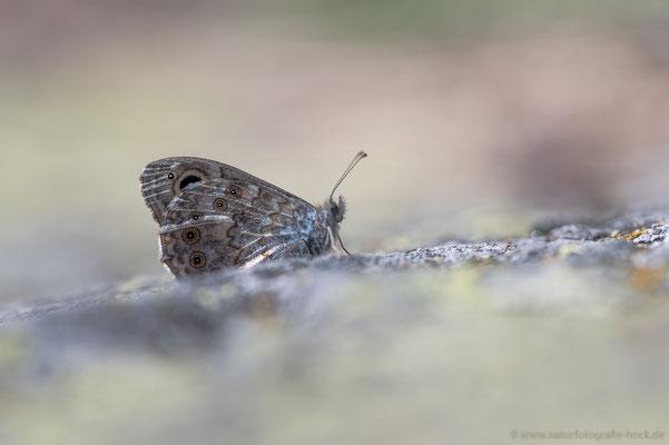 Braunscheckauge (L. petrapolitana)