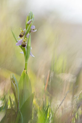 Bienenragwurz (Ophrys apifera var. bicolor)