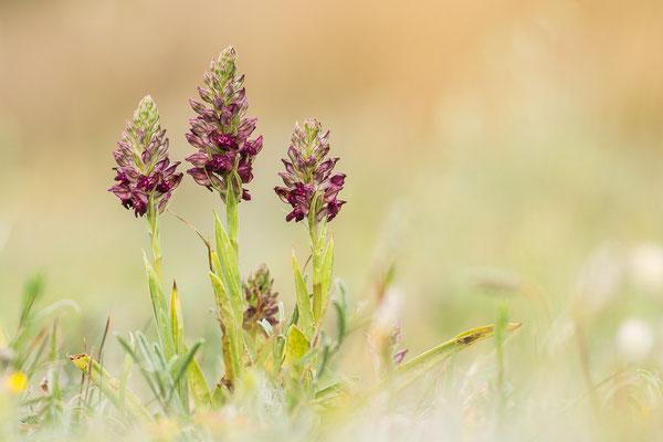 Wanzenknabenkraut (Orchis fragans)
