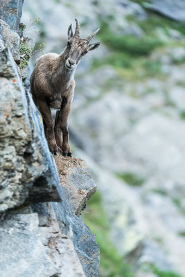 Alpensteinbock, Wallis, 2015