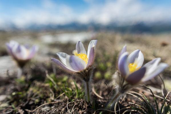 Frühlingsküchenschelle (Pulsatilla vernalis) im Biotop