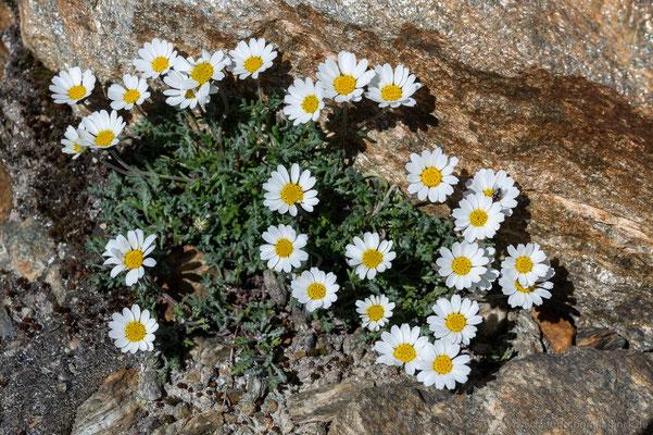 Alpen Wucherblume (Leucantheum atratum)