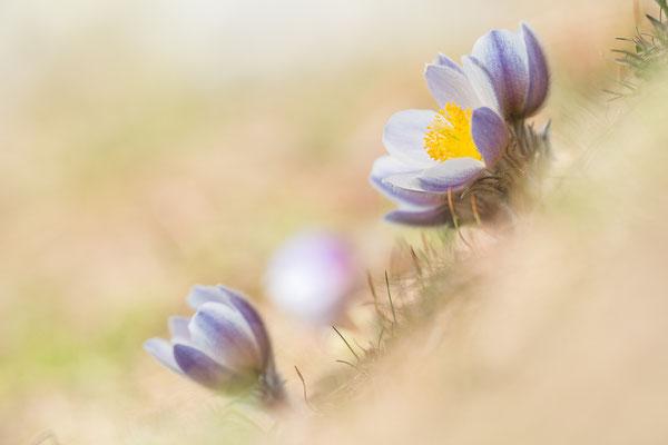 Frühlingsküchenschelle (Pulsatilla vernalis)