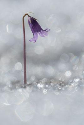 eine besondere Herusforderung, Soldanellen im Schnee und Gegenlicht