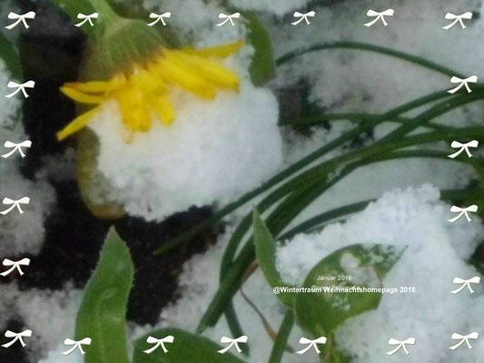 Vlume im Schnee 2016 Garten