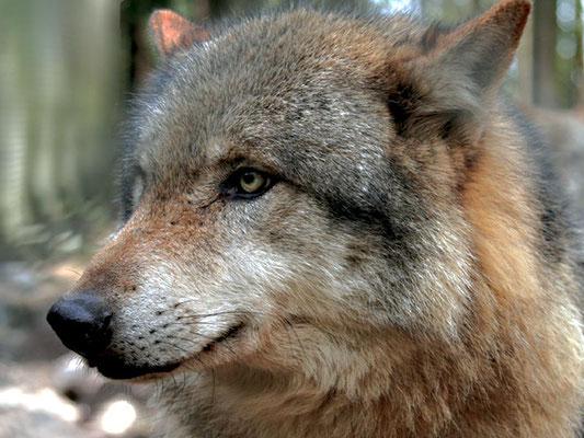 Wölfe im Wendland
