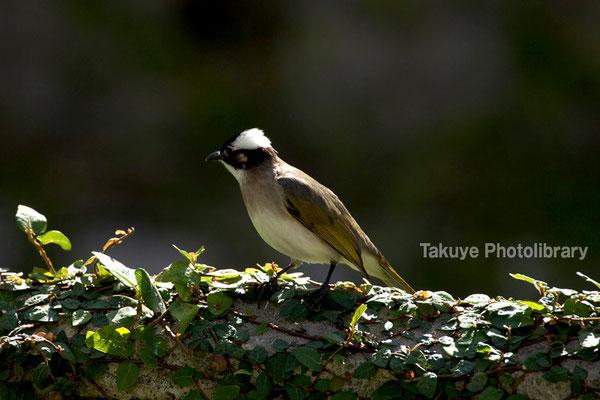 11b-0012 タイワンシロガシラ スズメ目 ヒヨドリ科。台湾原産の亜種