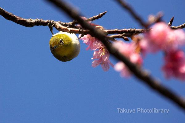 11b-0018 緋寒桜とメジロ 沖縄本島 末吉公園