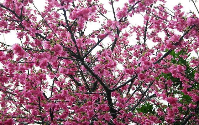 12-0022 緋寒桜