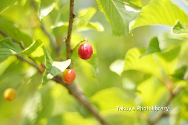 12-0092 緋寒桜のさくらんぼ