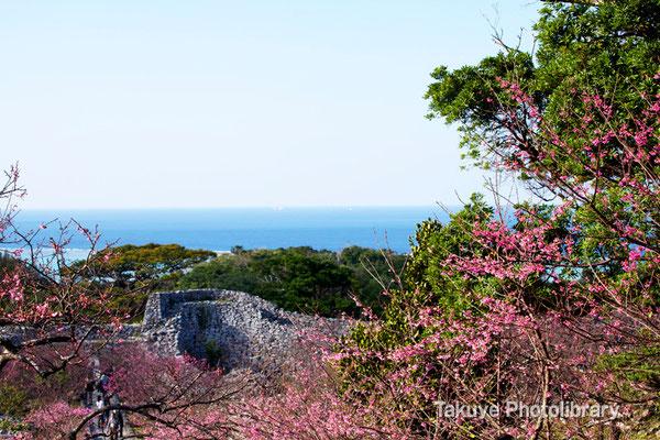 02-0035 今帰仁城跡の緋寒桜