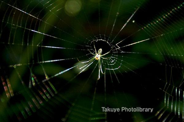 11a-0053 チュウガタシロカネグモの幼体 沖縄本島 末吉公園