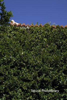 深緑のオオイタビ。 白い漆喰と赤瓦。… 群青色の空