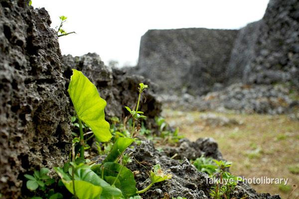 06a-0017 南のアザナ 台風一過、芽を出すクワズイモ