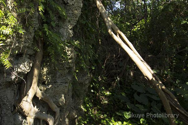 06i-0002 ガジュマルの根が張る、御嶽入口北側の崖。