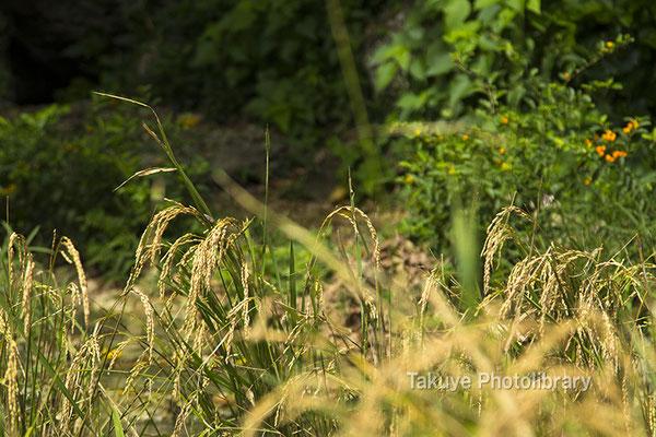 06h-0009 ヤブサツの浦原 受水走水 -うきんじゅ はいんじゅ  稲作発祥の地