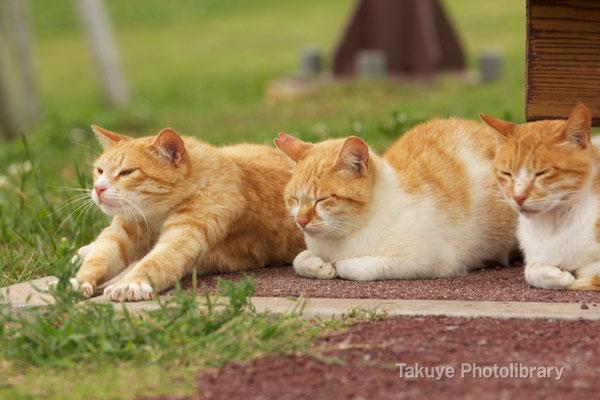 11c-0009 ネコ 仲良し3匹