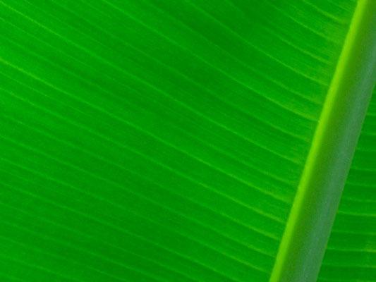 12-0042 島バナナの葉脈