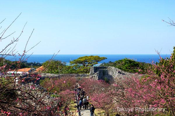 02-0034 今帰仁城跡の緋寒桜