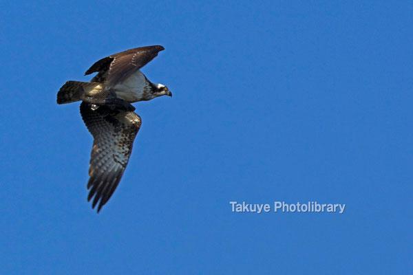 11b-0014 ミサゴ 獲物を抱えた末吉の森の主 沖縄本島 末吉公園