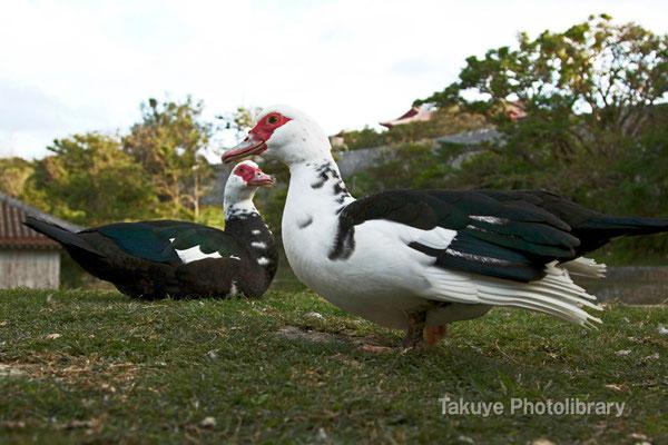 11b-0021 首里城 円鑑池に棲むバリケン(タイワンアヒル)