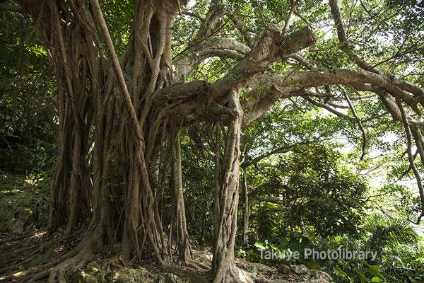 06g-0002 伊祖神社-英祖之宮 脇のガジュマルの木 まるで御神木
